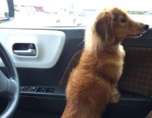 車内のかわいい犬